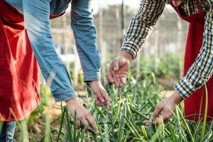 mani di agricoltori che osservano ed esaminano una piantagione di cipolle in un campo biologico foto