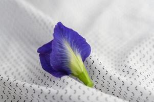 farfalla blu pisello fiore foto