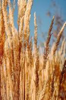campo di grano marrone durante il giorno foto
