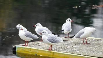 gruppo di gabbiani rilassante sulla piattaforma di cemento sopra l'acqua del lago