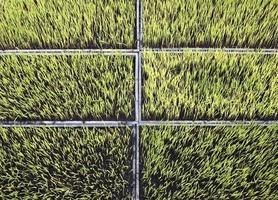 piantine di riso giardino dell'azienda agricola foto