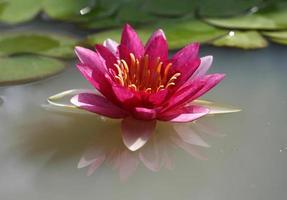 una bella ninfea rosa o un fiore di loto nello stagno