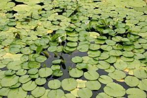 loto verde e foglie verdi fresche foto