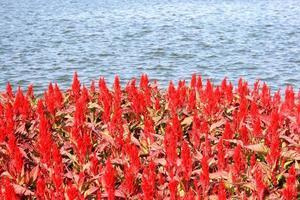 fiori colorati cresta di gallo vicino all'acqua