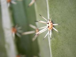 primo piano di spine di cactus foto