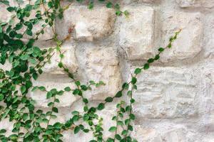 muro di pietra con edera verde foto