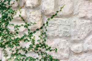 muro di pietra ricoperto di edera verde foto