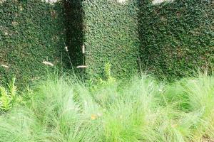 muro di casa ricoperto di edera verde davanti al campo verde. foto