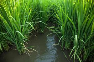 campo di riso in thailandia foto