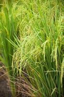 campo di riso in thailandia
