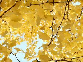 albero di gingko in autunno foto