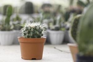 cactus in un vaso di terracotta foto
