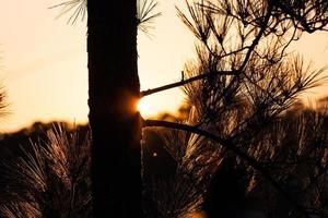 sagoma di un albero al tramonto foto