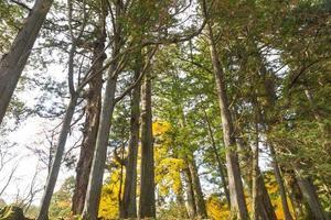 alberi di pino in autunno foto