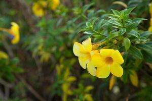 fiori gialli che sbocciano
