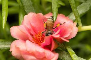 ape in cerca di nettare su un fiore foto