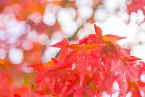 foglie rosse sull'albero foto