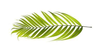 foglia di albero di cocco