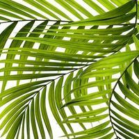primo piano di foglie di palma su sfondo bianco