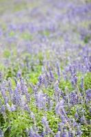 fiore blu sul campo