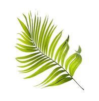 foglia di palma verde brillante