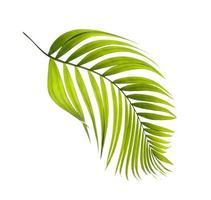 foglia di palma tropicale verde isolata foto