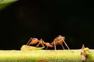 formica rossa su un ramo foto