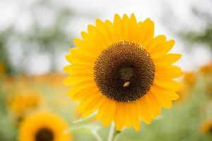 primo piano di un girasole in fiore in un campo con sfondo natura sfocata foto