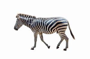 statuetta zebra su uno sfondo bianco foto