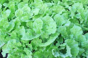 foglie di lattuga verde durante il giorno foto