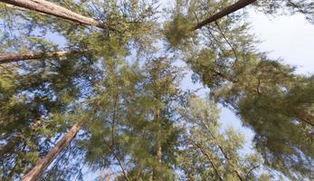 alberi ad alto fusto nella foresta
