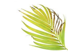 fogliame di palma verde e marrone su bianco