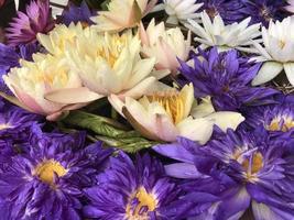 fiori di loto viola e bianchi