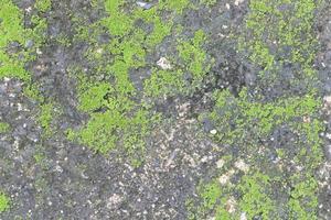 muschio su cemento foto