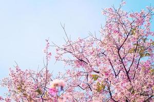 fiore di ciliegio rosa foto