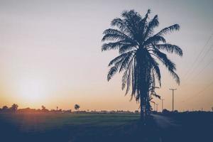 campo di riso con alberi di noci di cocco al tramonto