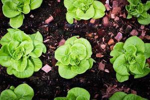 vista dall'alto di lattuga in giardino foto