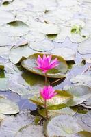 fiori di loto in uno stagno