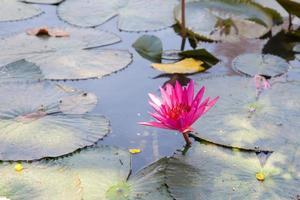 lotus in un piccolo stagno