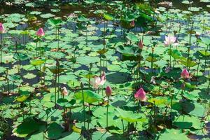 stagno pieno di gigli d'acqua o loto