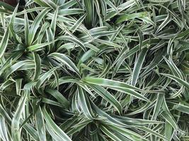 erba verde variegata foto