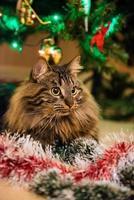 ritratto di gatto norvegese con ghirlande sotto l'albero di natale foto