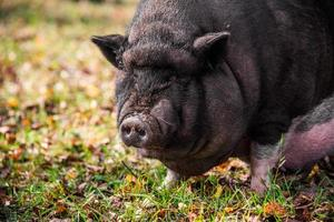 ritratto di maiale panciuto vietnamita foto
