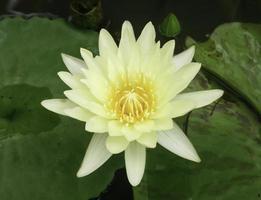 fiore di loto giallo