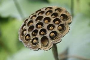 semi di loto secchi