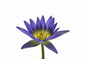 fiore di loto isolato foto