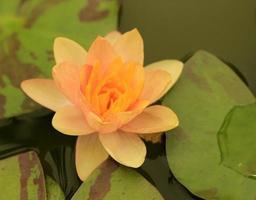 ninfea arancione in acqua