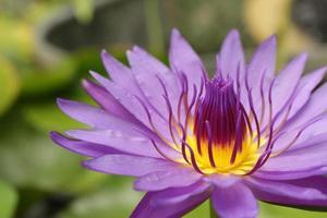 primo piano giallo e viola ninfea