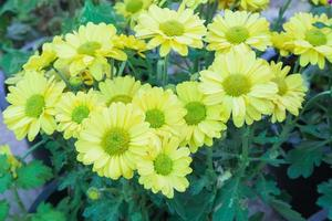 fiori gialli in giardino foto