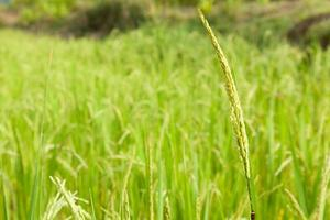 riso sul campo di riso